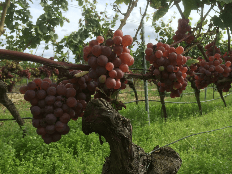 røde, modne druer fra Weingut Lukas Kesselring